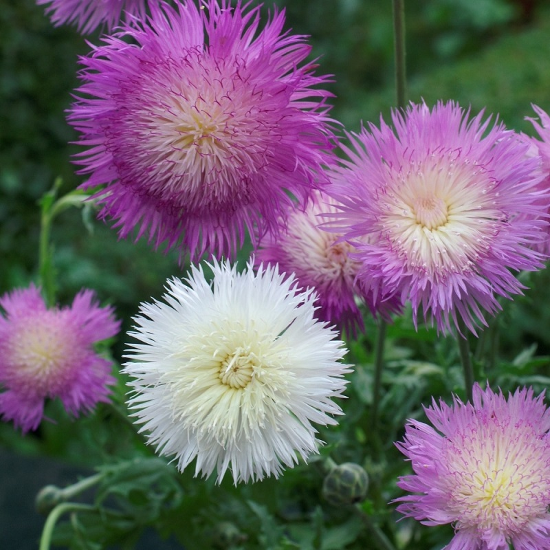 Cornflower Seeds - Imperialis Mix
