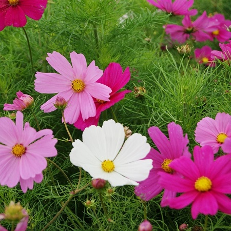 Cosmos Seeds (Dwarf Early) - Sensation Mix