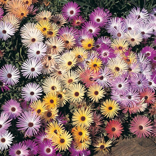 Daisy Seeds (Ice Plant) - Livingstone Pastel Mix