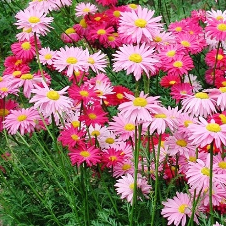 Painted Daisy Seeds - Robinsons Giant Mix