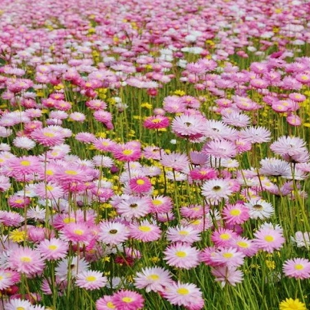 field of pink paper daisy flowers.