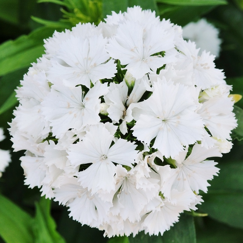 Sweet William Seeds - Albus