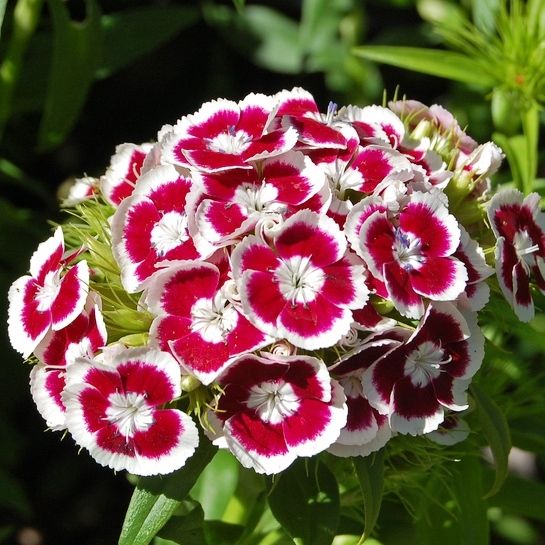 Sweet William Seeds - Holborn Glory