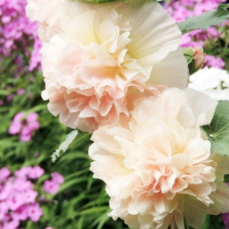 Hollyhock Seeds - Majorette Double Champagne