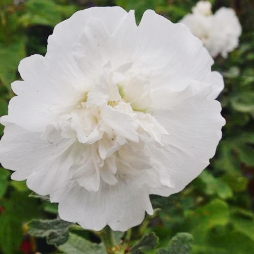 Hollyhock Seeds - Majorette Double White