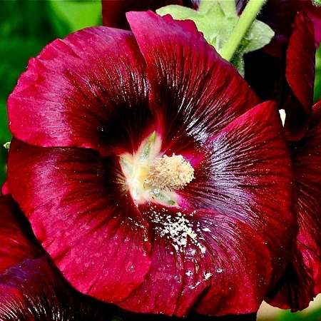 Hollyhock Seeds - Henry VIII - Red