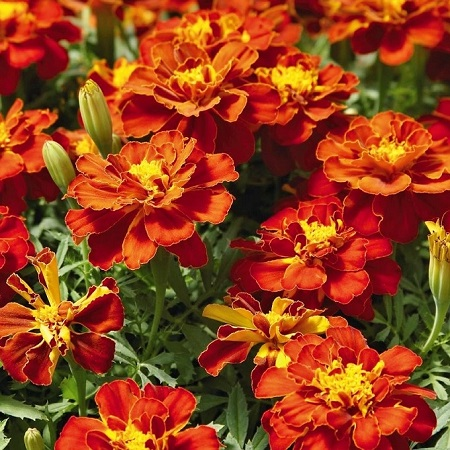 French Marigold Seeds - Red Cherry