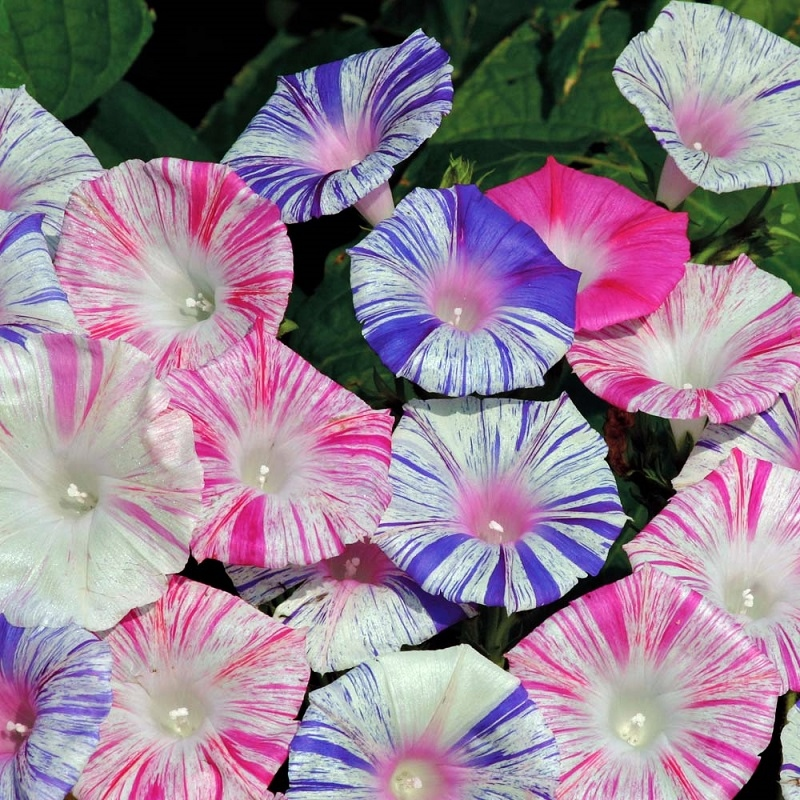 Morning Glory Seeds - Harlequin Mix