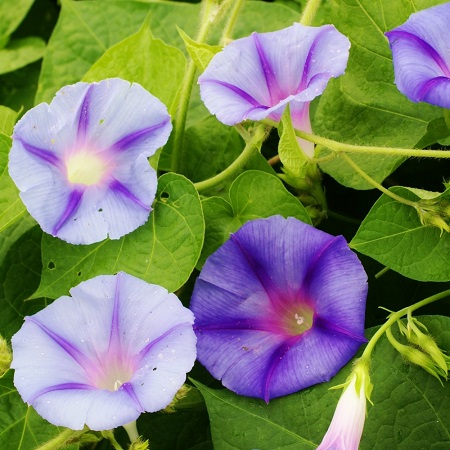 Morning Glory Seeds - Caprice