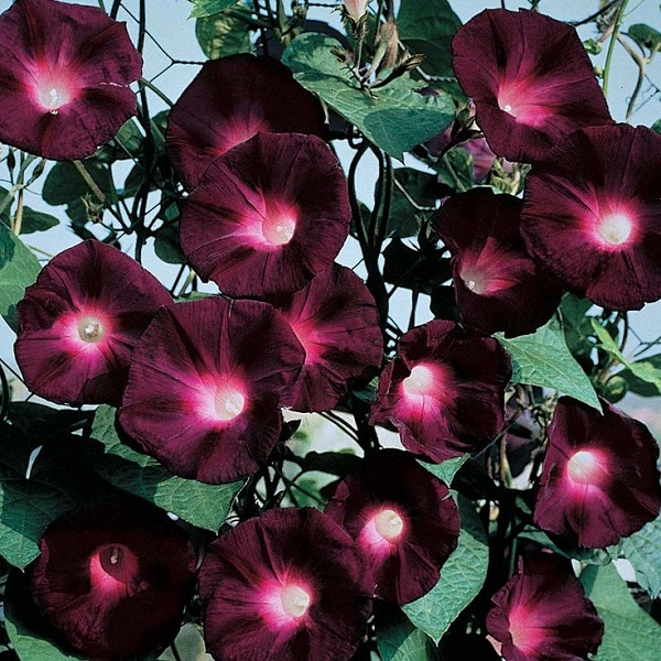Morning Glory Seeds - Knowlians Black