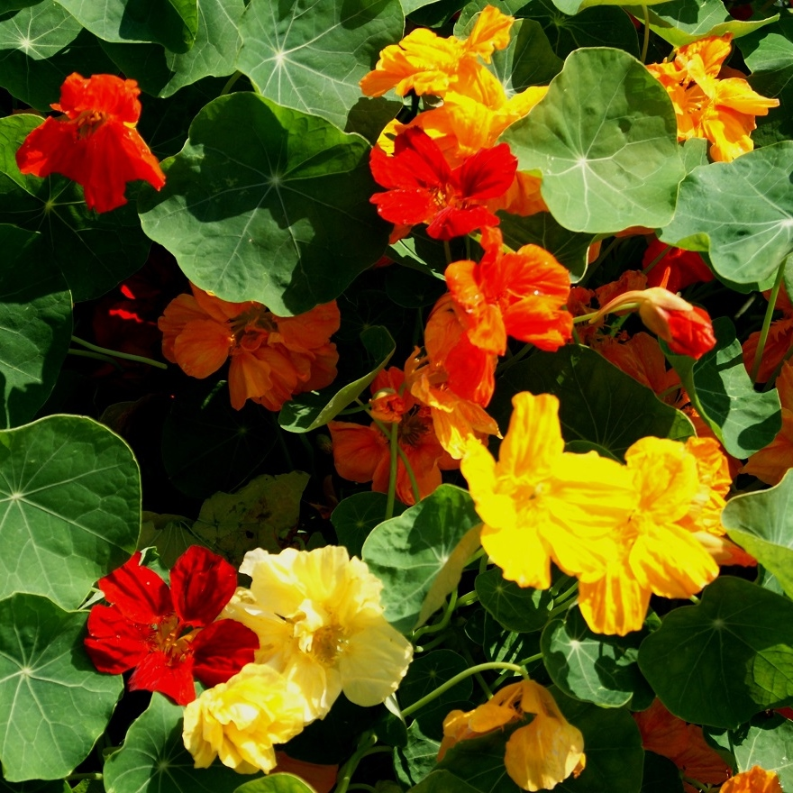 Nasturtium Seeds (Dwarf) - Whirleybird Single Mix