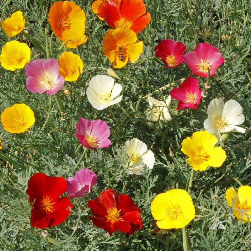 California poppy seeds poppy seeds mixes edenbrothers california poppy seeds mixed colors quick view mightylinksfo