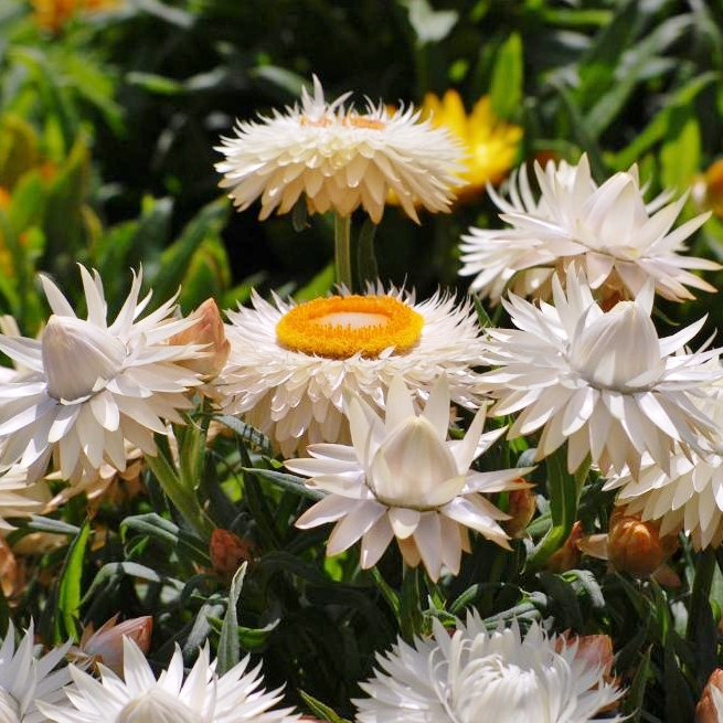 Strawflower Seeds - White