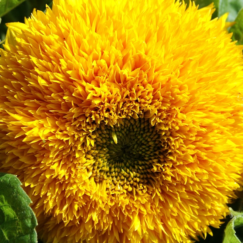 Sunflower Seeds (Dwarf) - Sungold