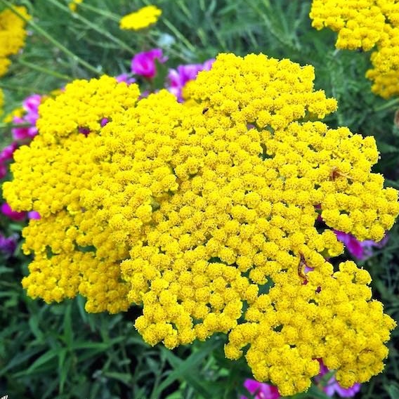 golden yarrow flowers