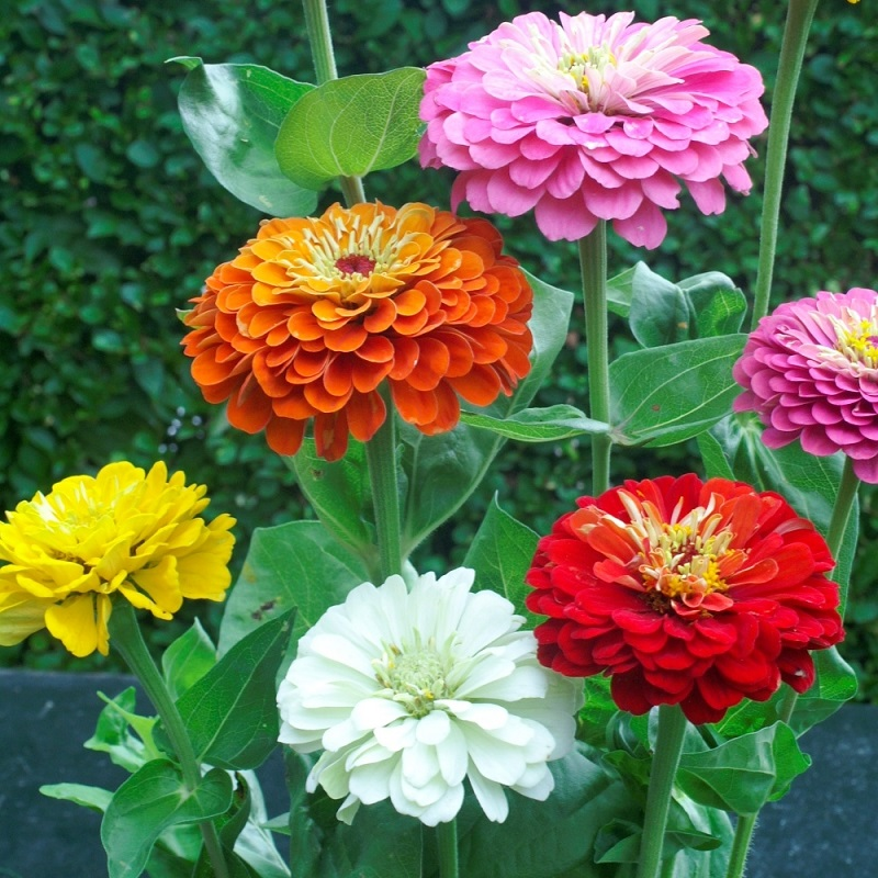 Zinnia Seeds - Dahlia Flowered - Packet
