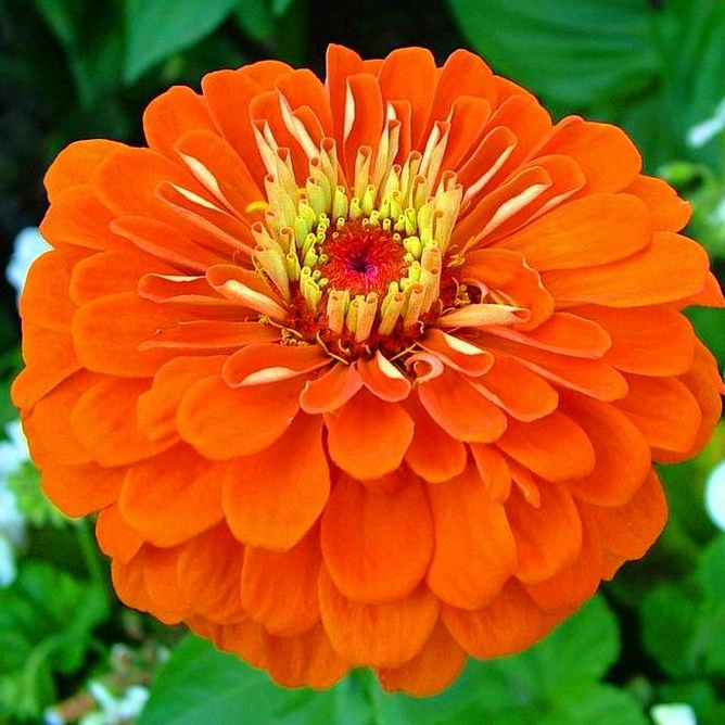 Zinnia Seeds - Orange King - 1 Pound