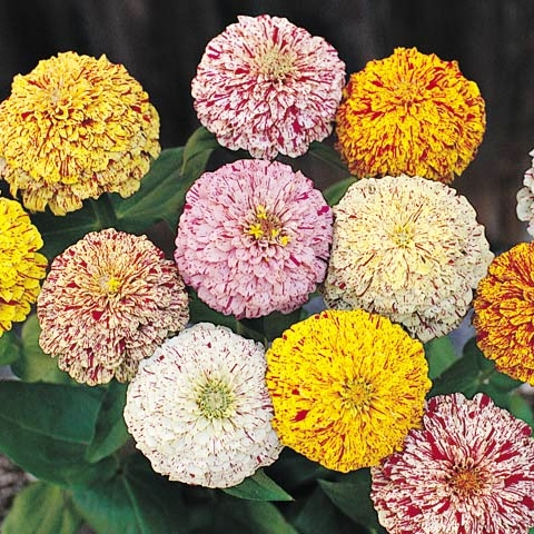 Zinnia Seeds - Peppermint Stick Mixed - 1 Pound