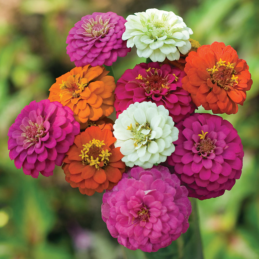 Zinnia Seeds (Dwarf) - Thumbelina - Packet