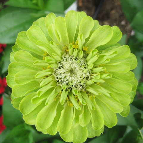 Zinnia Seeds - Envy