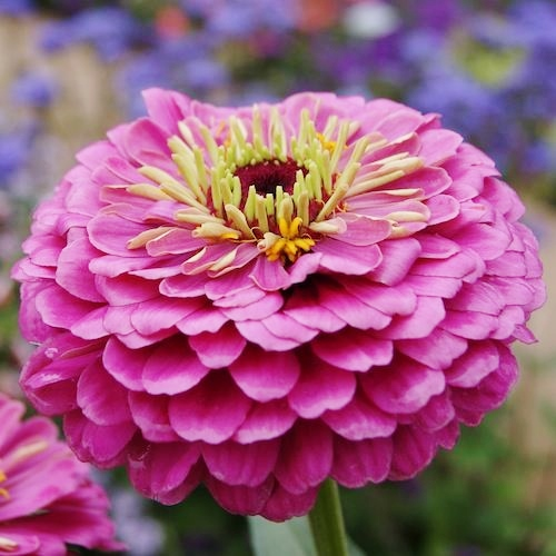 Zinnia Seeds - Dream