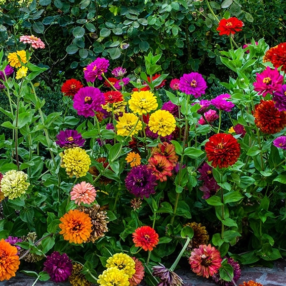 Zinnia Seeds - State Fair Mix
