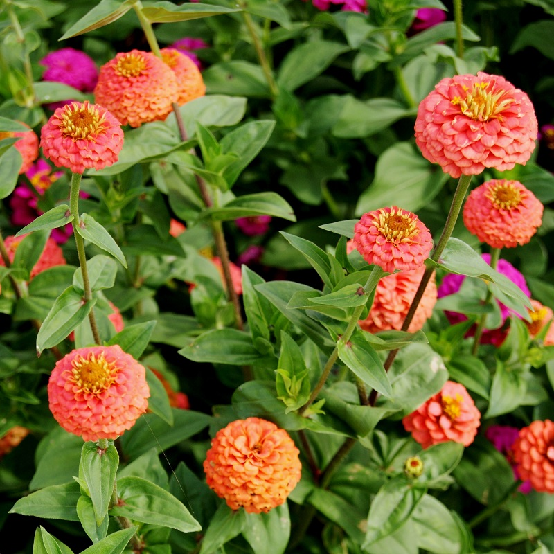 Zinnia Seeds - Lilliput Salmon