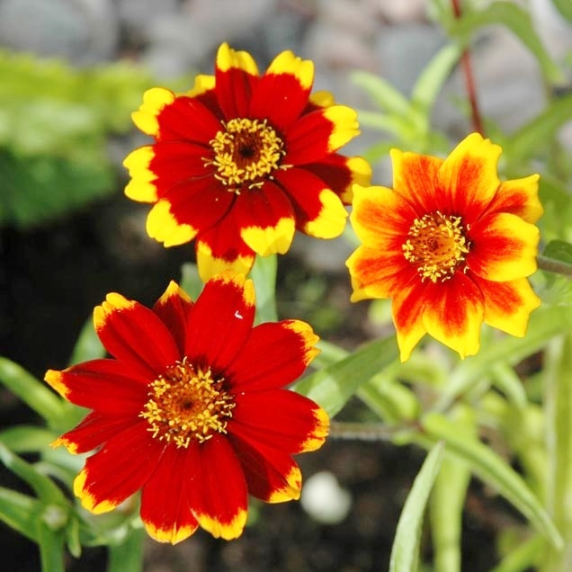 Zinnia Seeds - Chippendale Daisy