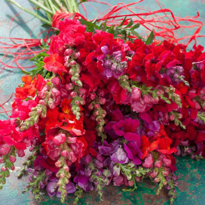 Snapdragon-Red-Mix