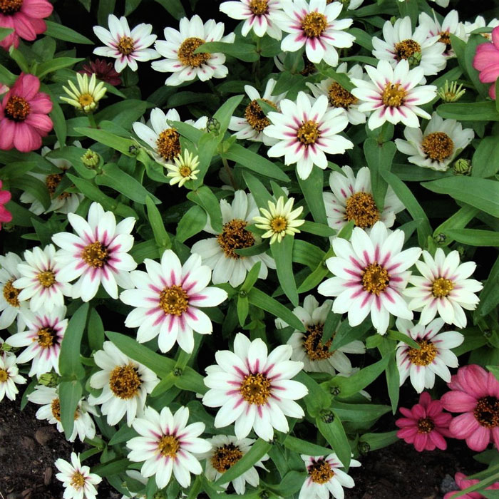 Zinnia-Starlight-Rose-1