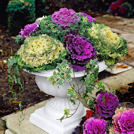 12 Seeds Cabbage Ornamental Mix Decorative Cabbage ideal for beds /& containers