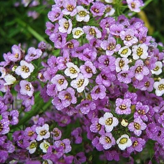 map my package with Sweet Alyssum Royal Carpet Seeds on Small Towns In Texas also Coursedetail further Creating Plasmid Diagrams In Tex likewise Kualalumpur further Entity.