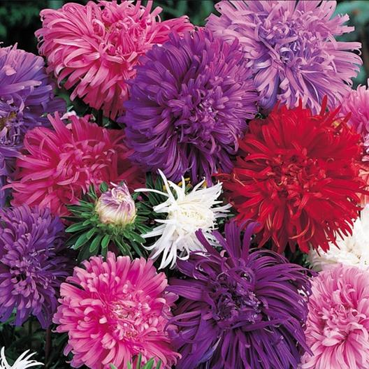 China Aster Seeds Quot Ostrich Feather Mix Quot