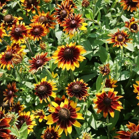 Black Eyed Susan Seeds Orange Fudge