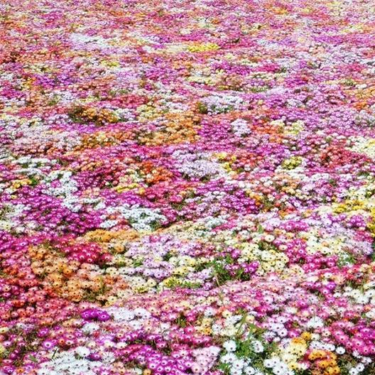 PERENNIAL 50 ICE PLANT FLOWER SEEDS MIX