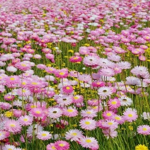 Paper daisy seeds giant flowered mix paper daisy seeds giant flowered mix helipterum roseum mightylinksfo