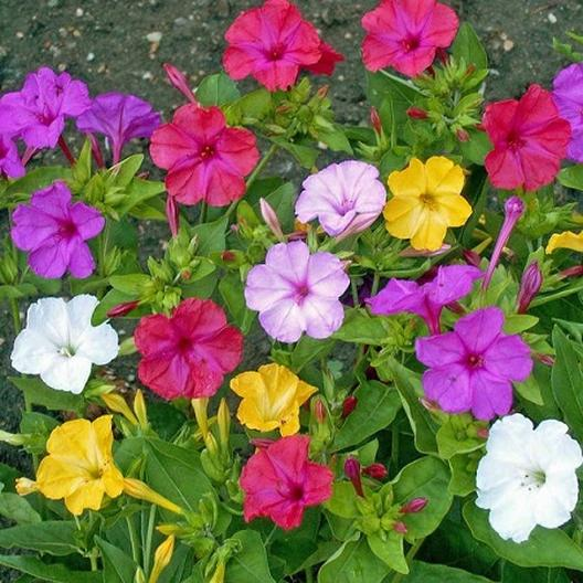 Mixed colors four o clock seeds buy packets or bulk at four o clock seeds mixed colors mirabilis jalapa mightylinksfo