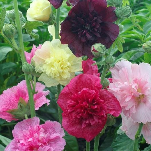 Hollyhock Seeds Quot Majorette Double Mixed Quot