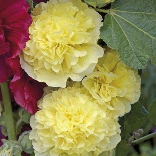 Hollyhock Seeds Majorette Double Yellow