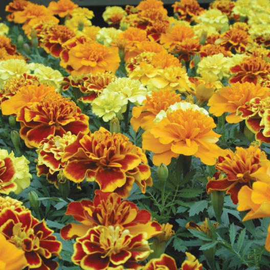 French Marigold Seeds Brocade Mix