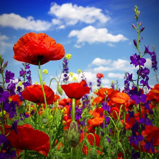Red corn poppy flower seeds papaver rhoeas mightylinksfo