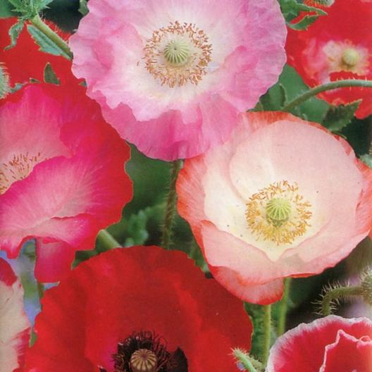 Shirley Poppy Seeds Quot Mixed Red Amp Pink Quot