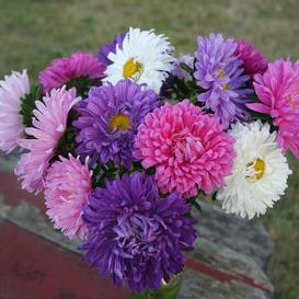 Aster-Giants-of-California-Mix