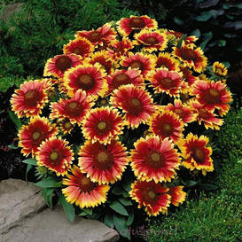 Blanket Flower Seeds - Dwarf Goblin