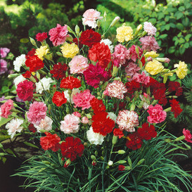 Carnation Seeds - Grenadin Double Mix