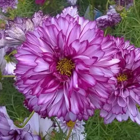 Cosmos Seeds - Double Click - Double Violet