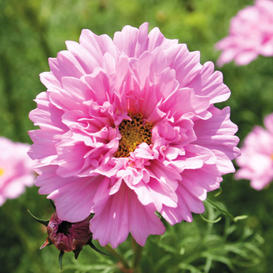 Cosmos Seeds - Double Click - Rose Bon Bon