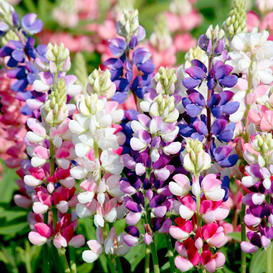Lupine Seeds - Avalune Mix