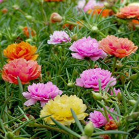 Moss Rose Seeds - Double Mix