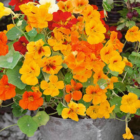 Organic Nasturtium Seeds - Jewel Mix